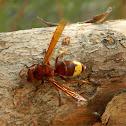 Oriental hornet (Σερσένι)