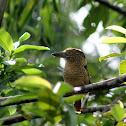 Bobo Barrado - Barred Puffbird