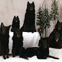 Belgian Sheepdog Wallpapers logo
