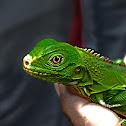 Iguana o Teyú