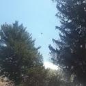 Eastern Turkey Vulture