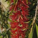 bottlebrushe flower