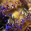 Sea Urchin Commensal Shrimp