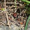 Fire Bug (Gemeine Feuerwanze)