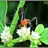 Braconid Wasp