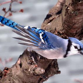 North American Blue Jay by Patti Hobbs - Animals Birds ( bird animals north american blue jay,  )