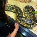 Burmese python.