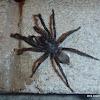 Trapdoor-Spider