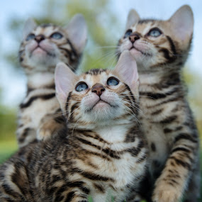 It's a bird! by Rob Ebersole - Animals - Cats Kittens ( kitten, maplewood bengals, bengal, leopard )