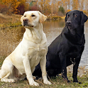 Labrador Retrievers Wallpapers icon