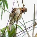 Philippine Bulbul