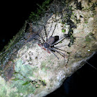 Tailless whip scorpion sp.