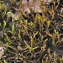 Hedwigia moss