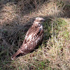Red-tailed Hawk (light juvenile)