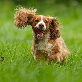 by James Blyth Currie - Animals - Dogs Running ( cockerspaniel, kensington gardens, park, london, hyde park, dog, running )