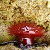 Sea anemone-red / Crvena moruzgva