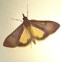Uresiphita ornithopteralis