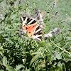 Jersey Tiger
