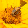 Pennsylvania Leatherwing Beetles