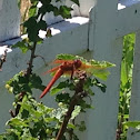 Flame Skimmer dragonfly (male)