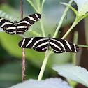 Zebra ales llargues