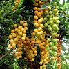 golden dewdrops