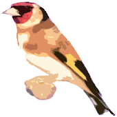 Free Singing goldfinches