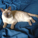 Siamese cat (lilac and chocolate point)