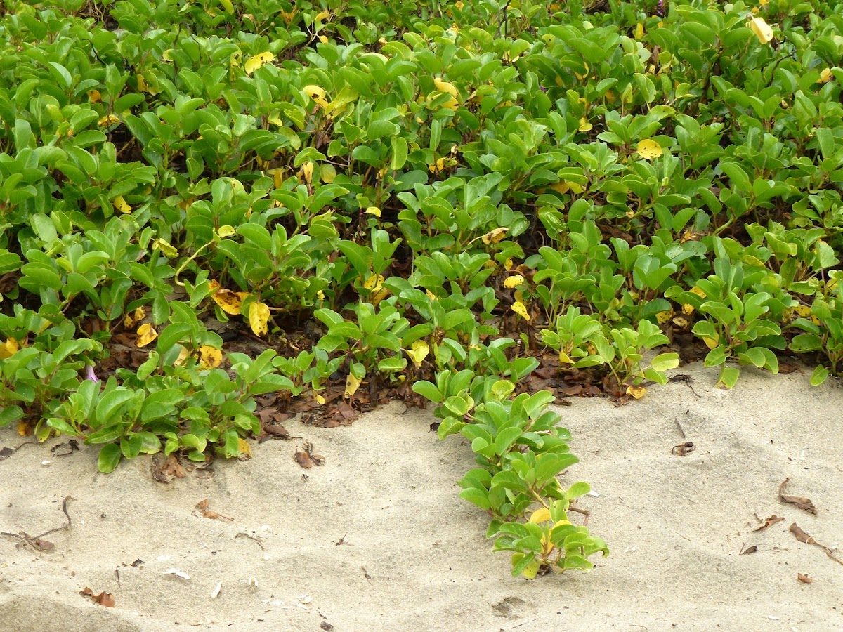 Beach Morning Glory or Railroad Vine or Goat's Foot Morning Glory
