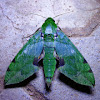 Verdant hawk moth