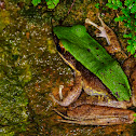Large Odorous Frog