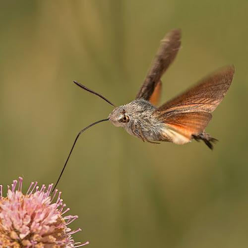 Macroglossum Stellatarum by Alberto Carati - Animals Insects & Spiders ( animal, butterfy )