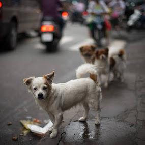 Street dogs in Ho Chi Minh City, Vietnam by Adam Lorrimer-Roberts - Animals Other Mammals
