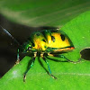 Indian jewel bug