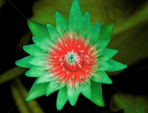 Rare Green Lotus Single Flower Flowers Pixoto