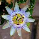 Passion Flower / Krishna Kamala