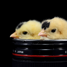 Chicks in lens by Mohamed Mahdy - Animals Birds ( canon, chicken, chick, chickens, sleep, nikon, , camera, lens, object )