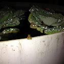 coqui frog baby