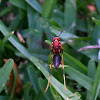 Red Paper Wasp or North American Paper Wasp