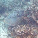 Hawksbill Sea Turtle/ honu 'ea