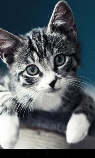 Q 猫咪动态壁纸