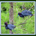 Breeding Pair Little Blue Herons