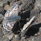 Common Checkered-Skippers courting