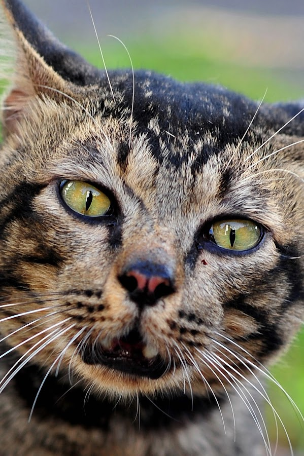 Fierce by Lensa Retak - Animals - Cats Portraits