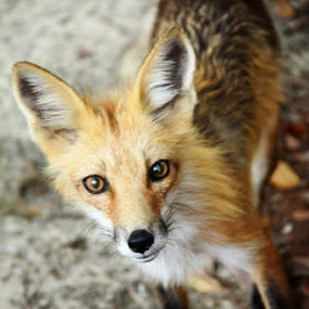 Mr. Fox by Angela Wescovich - Animals Other (  )