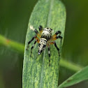 Mimic Jumping Spider (female)
