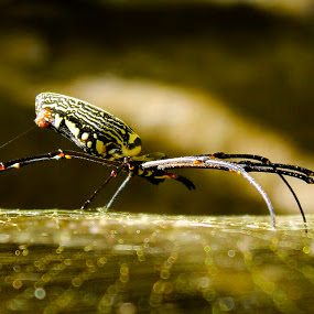 The Spider by Golam Kibria Sumon - Animals Insects & Spiders ( bangladesh, nature, clouseup, spider, animal, , web, spiderweb )