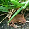 白頷樹蛙 White Lipped Treefrog