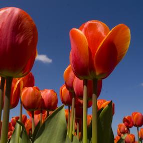 by BertJan Niezing - Flowers Flower Gardens ( tulip field, tulip, holland, summer, sun )