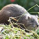 Hutias or Tree Rat